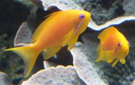 El Anthias squamipinnis: un pez de arrecife