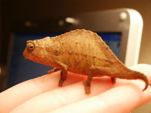 Rhampholeon Brevicaudatus, un diminuto camaleón