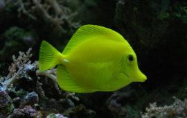Zebrasoma flaevescens, un hawaiano en tu acuario