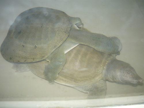 Trionyx sinensis