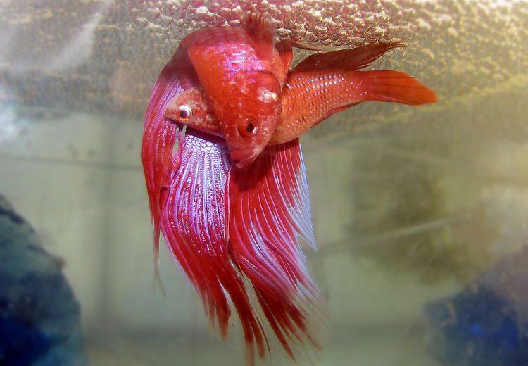 La reproducción de los peces