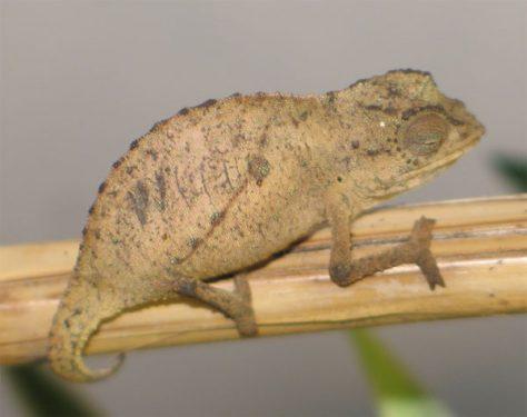 Rhampholeon Brevicaudatus