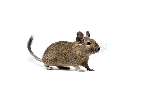 El degú, un pequeño mamífero sorprendente