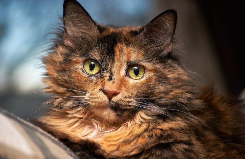 Gato color tortuga
