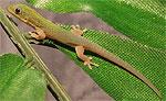 Gecko diurno dorado