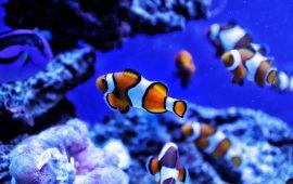 Pez payaso, una nota de color en el acuario marino