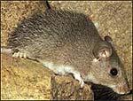 raton_espinoso[1]