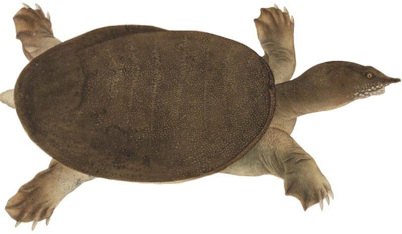 La Trionyx Siamensis: una tortuga de caparazón blando
