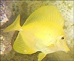 Zebrasoma flaevescens