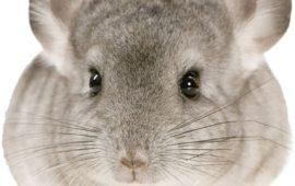 La chinchilla, un precioso roedor de hábitos nocturnos