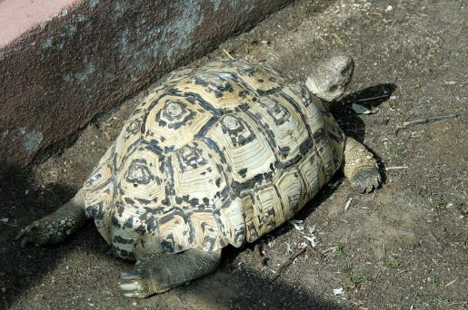 Tortuga leopardo - Geochelone pardalis