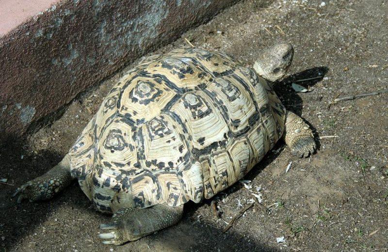 Reproducción en cautividad de la Tortuga Leopardo o Geochelone pardalis