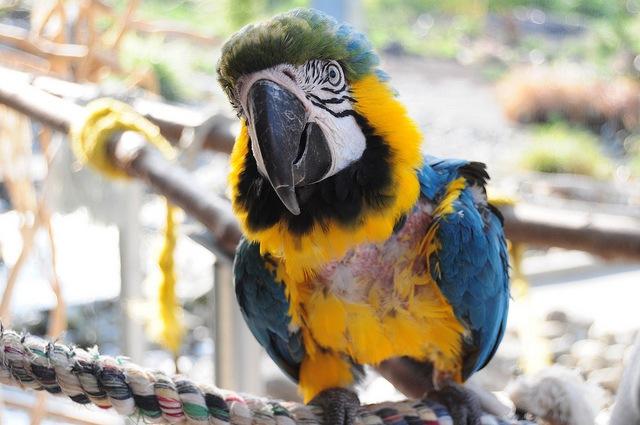 Picaje psicógeno en aves