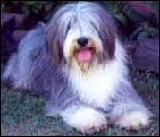 El Bearded Collie