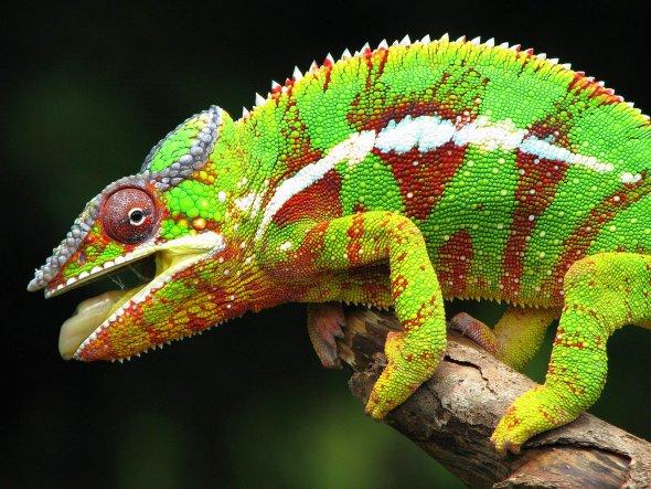 Camalelón de velo