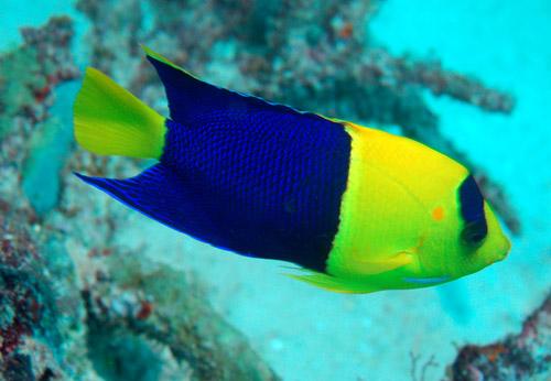 El centropyge bicolor: un pez muy alegre