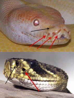 Fosos nasales en serpientes