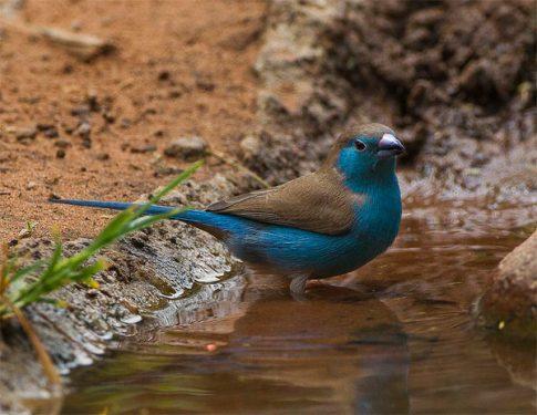 Granadina Azul o Azulito angoleño