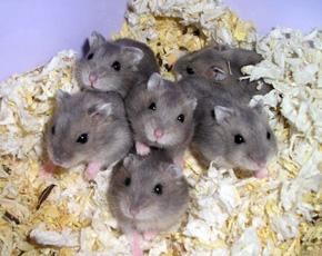 Hamster enano chino