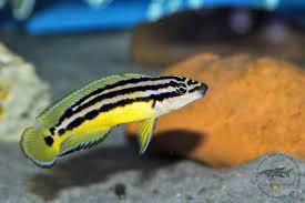 El Julidochromis ornatus: el ciclído de las rocas