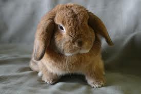 Las seis razas de conejos medianos