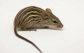 El ratón cebra, un pequeño mamífero muy tímido