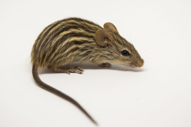 Ratón Cebra