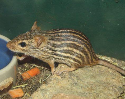 Ratón cebra - Foto propiedad de: By Ltshears CC