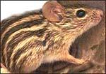 El ratón cebra