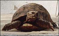 La tortuga Testudo Graeca Graeca