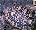 Reproducción en cautividad de la Tortuga Leopardo