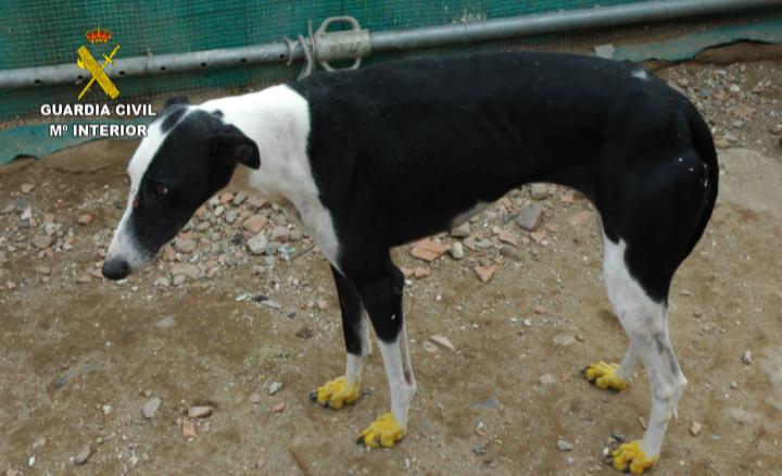 La Guardia Civil detiene a 6 personas por el robo de 34 perros de raza galgo español
