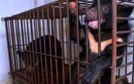 Pedimos el fin para las granjas de bilis de oso en Vietnam
