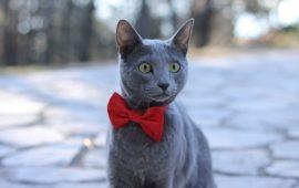 El Azul Ruso o gato Arcángel