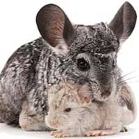 Una chinchilla en casa: su manejo