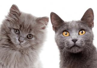 Gato, ¿de pelo largo o corto?