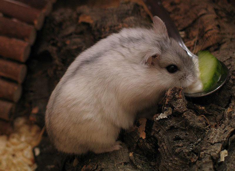 Hamster de Zungaria - Phodopus sungorus