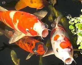 Nutrición en los peces