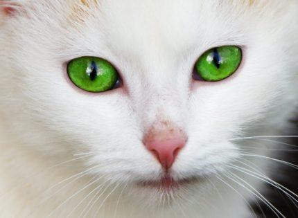 Dermatitis en el gato