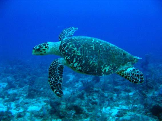 Especies de tortugas marina: la Tortuga Carey