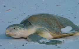 Especies de tortugas marinas –  Tortuga Lora