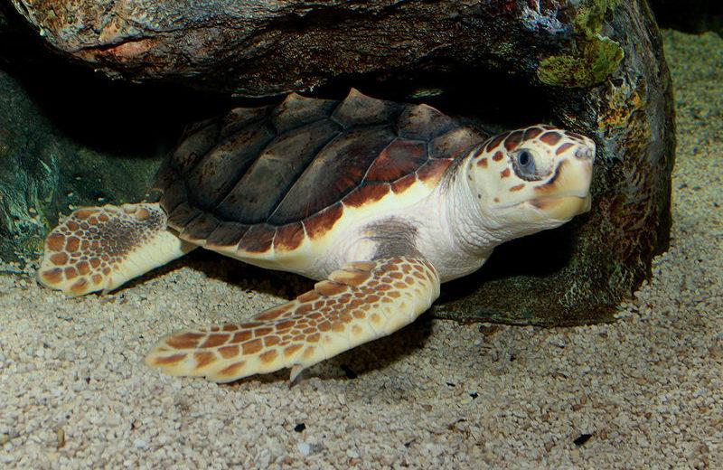 Especies de tortugas marinas – Caguama