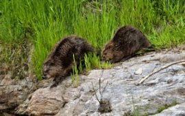 Reintroducción en el ambiente de especies extinguidas: El castor europeo.