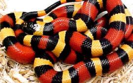 La Falsa Coral o Serpiente de Sinaloa