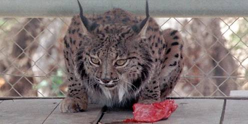 Someten a cuarentena al primer lince afectado por inmunodeficiencia felina