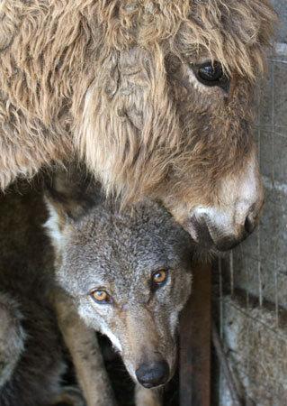 Amistad de un burro y un lobo. Sí has leído bien.