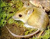 !Maldito roedor! El simpático ratón de campo