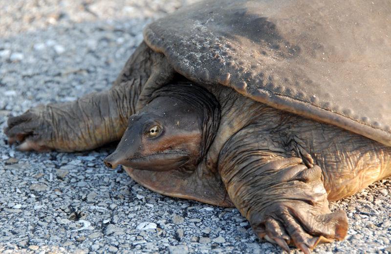 La Trionyx Siamensis: una tortuga blanda