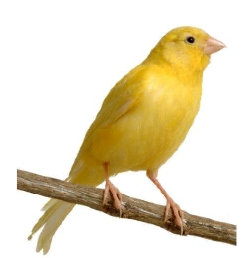 Consejos para comprar un canario