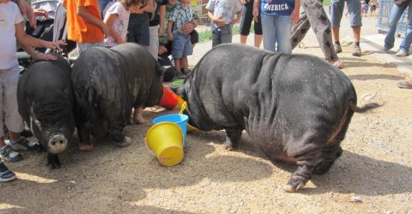 Cerdos vietnamitas: cuando una moda se convierte en un problema